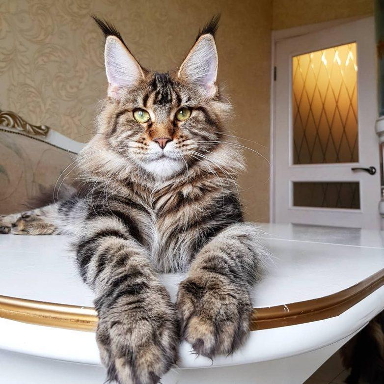 самая крупная кошка в мире фото покупал