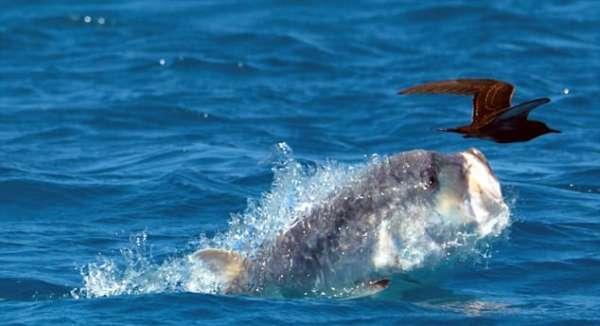Ученые открыли рыбу, которая охотится на птиц и сняли ее на видео
