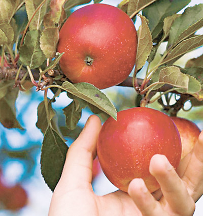 Когда и как правильно надо убирать яблоки и груши