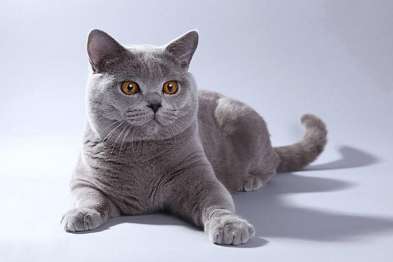 Порода британских кошек в картинках