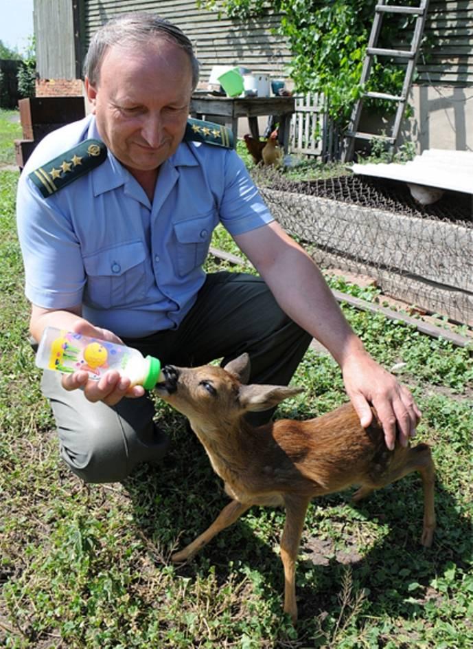 Сотрудник Хоперского заповедника выкармливает из соски детёныша косули