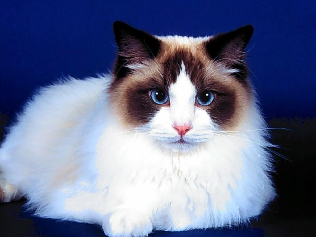 красивые котики фото породистые фототоваров подольске