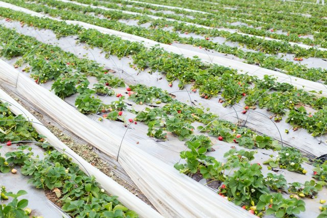 Выращивание клубники на высоких грядках по финской технологии