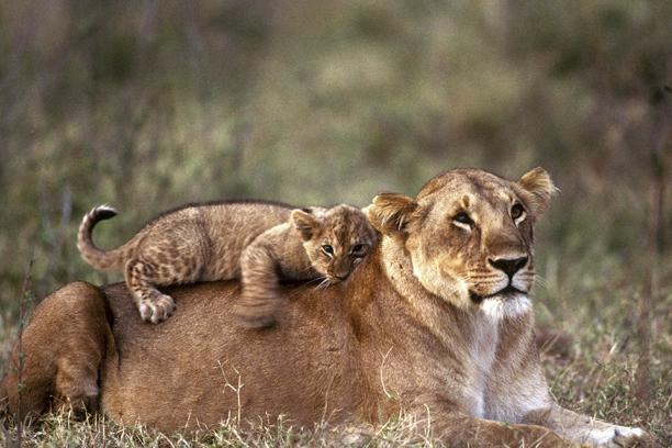 Львы в заповеднике Масаи Мара, Кения