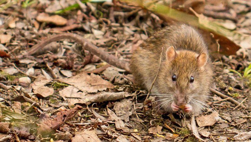 Крысы помнят о хорошем отношении и платят за него добротой