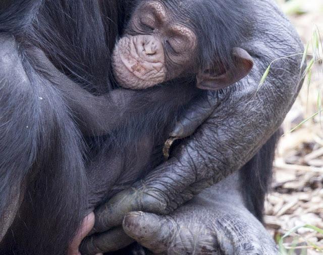Шимпанзе заботится об умирающей подруге и усыновляет её детёныша
