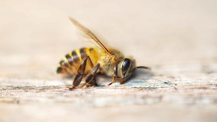 Путин, помоги: В России массово гибнут... пчёлы