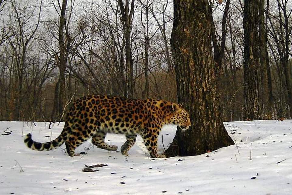 """Леопарда все время удается снять только с этого бока. Фото: """"Земля леопарда"""""""