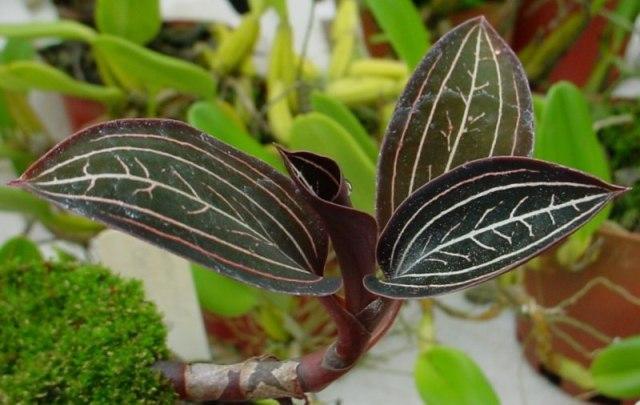 Лудизия - драгоценная орхидея.