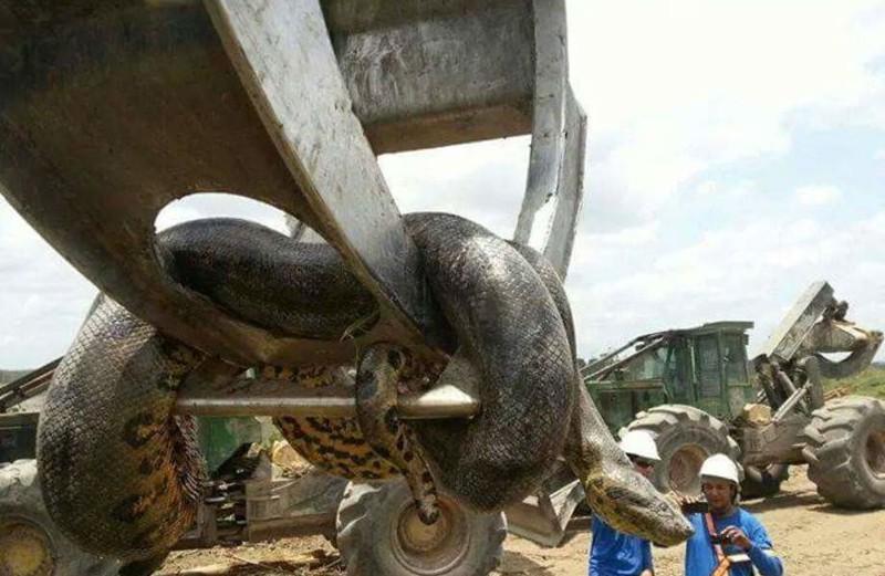 В Бразилии обнаружили гигантскую анаконду, вес которой почти 400 килограммов