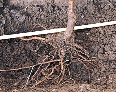 Агротехника ранней пересадки плодовых растений