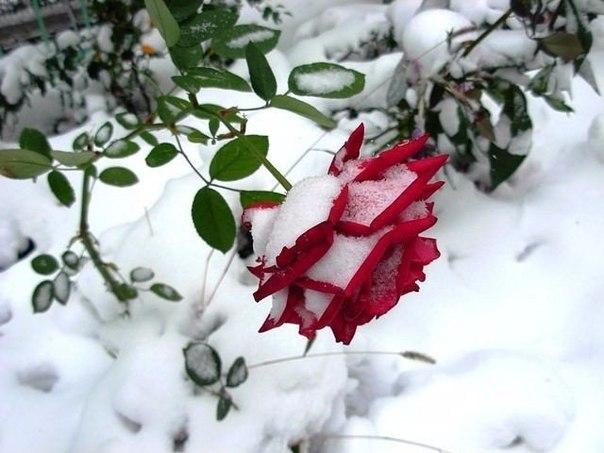 Зачем укрывают розы на зиму