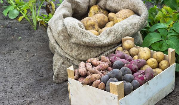 Как сохранить урожай картофеля до весны