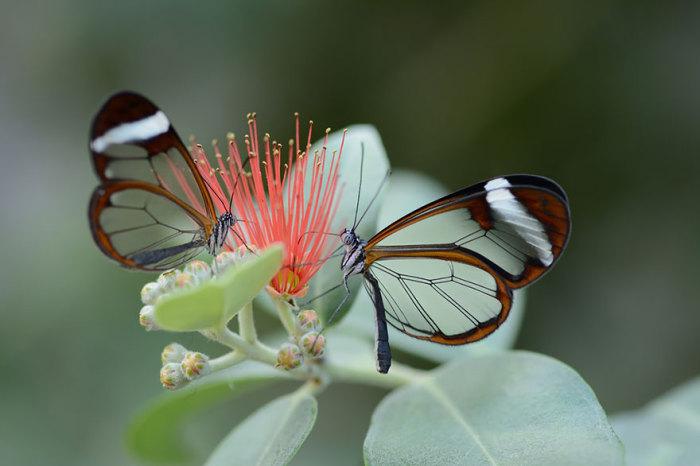 Удивительный вид бабочек с прозрачными крылышками. Эффект прозрачности возникает из-за нехватки цветных чешуек на крыльях насекомого.