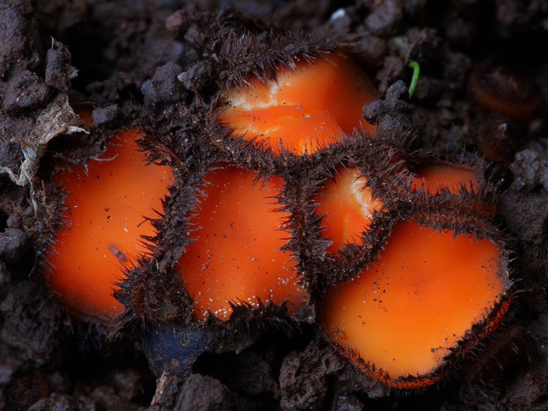 20. Scutellinia scutellata Скутеллиния щитовидная. грибы, интересное, фото