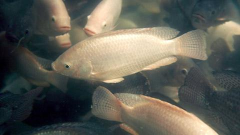 какую рыбу выращивают в домашних условиях