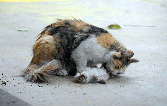 Видеть во сне кошку обозначает познание своего внутреннего «я», обострение интуиции, духовное понимание своей сущности.