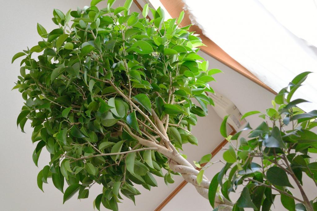 Целебные свойства чудо-растения. Почему фикус стоит иметь в каждом доме