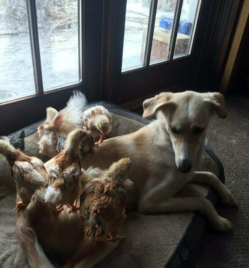 Флейм и семейство цыплят животные, истории, мило, работа, собака, собаки, упряжка, фото