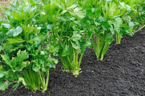 Сельдерей - и овощ, и лекарство