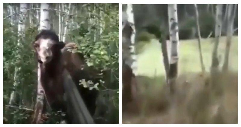 Неожиданная встреча с верблюдом в лесу верблюд, видео, встреча, животные, лес, охота, прикол, реакция