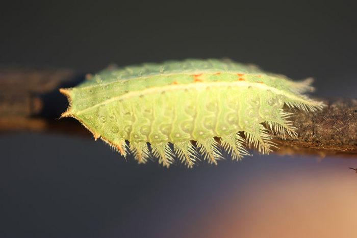 Гусеницы оставляют на поверхности листьев деревьев характерные зигзагообразные следы, а от хищников защищаются жалящими волосками по краю тела.