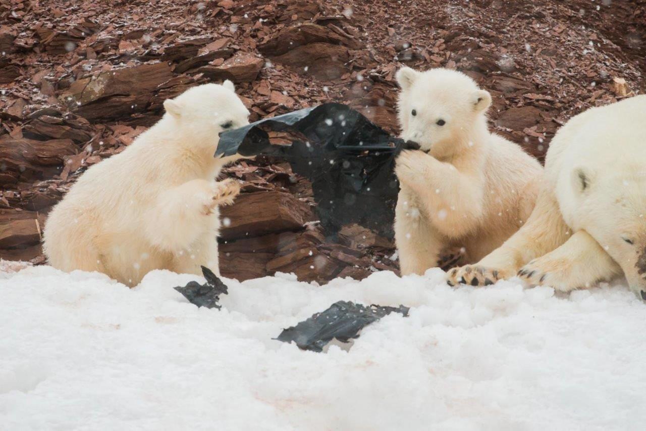 """""""Новая игрушка"""", Кевин Морганс, Арктика. Участник шорт-листа искусство фотографии, окружающая среда, охрана природы, победители конкурса, фотоконкурс, фотоконкурсы. природа, экологические проблемы, экология"""