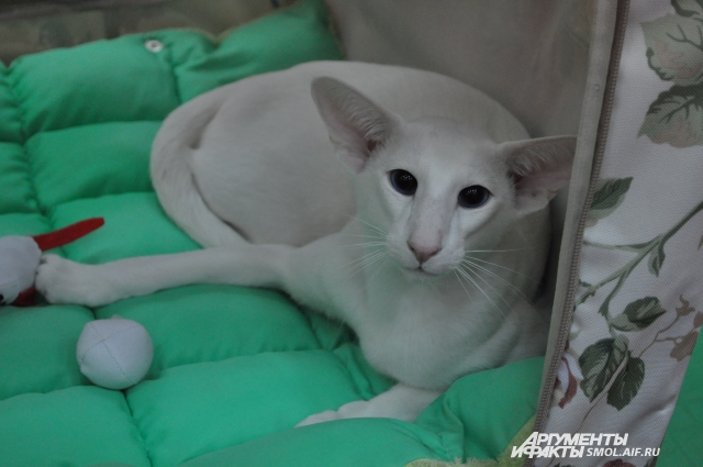 Абиссинская кошка или бенгальская