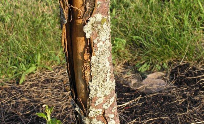 Болезни коры яблони и их лечение