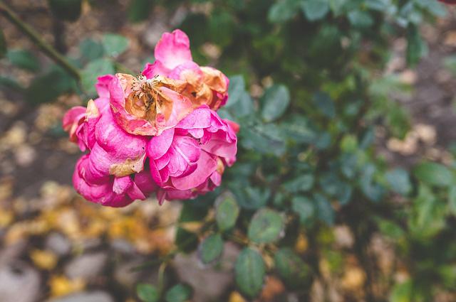 Вот зачем нужно обрывать увядшие цветки