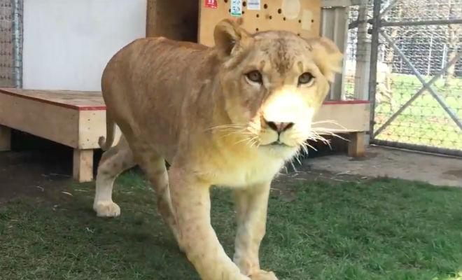 Львица не видела хозяина 7 лет
