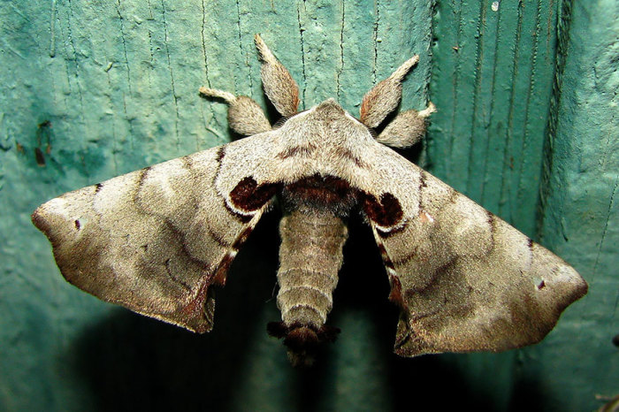 Бабочка пятнистый апателодес.