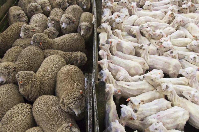 15. Стадо овец до и после стрижки. планета земля, удивительные фотографии, человек