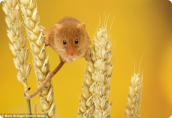 Мышь-малютка от фотографа Марка Бриджера