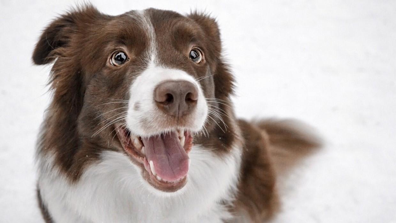 Только одна порода собак способна запомнить около тысячи существительных Общество