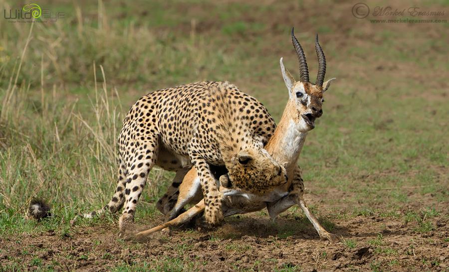 Охота гепарда на газель – захватывающие кадры из мира дикой природы