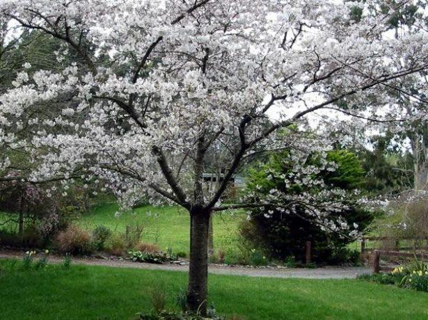Слива президент описание сорта - Сад и огород