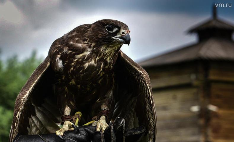 Дрессировка хищных птиц в му…