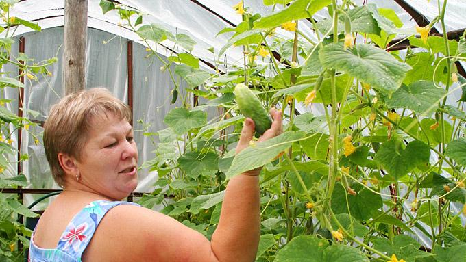 Огурцы: крепкое растение из каждого семени