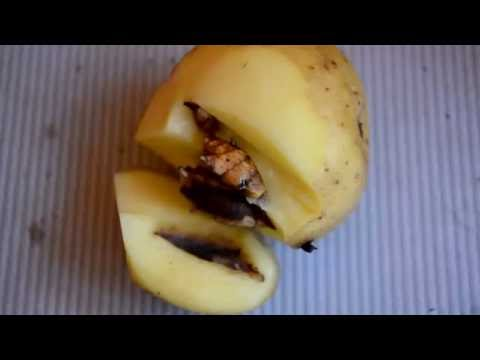 Что за ГМО-картошка?