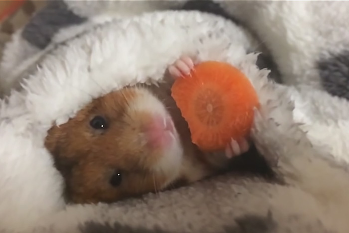 Хомяк ест морковку, и на это можно смотреть вечно