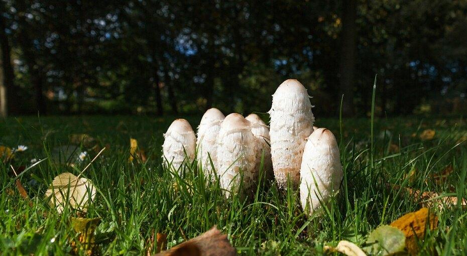 Странные, но съедобные грибы: дрожалка, навозник, ежовик и дождевик