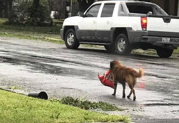 Пёс не сдавался и упорно тащил тяжёлый пакет до самого порога