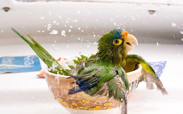 Baño y maneras de bañar a nuestro loro Original