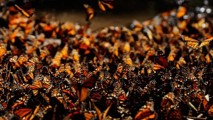 Миграция бабочек – монархов