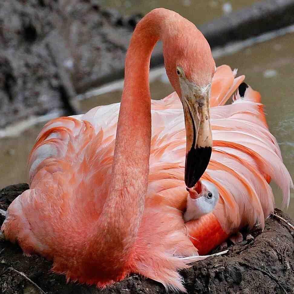 мне картинка смешной фламинго цвет