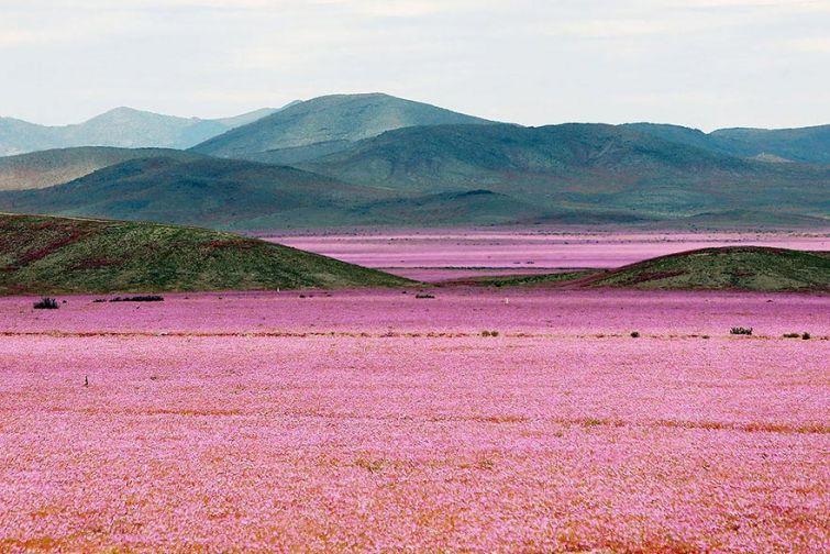 Океан цветов или что будет, если в пустыне пойдет дождь