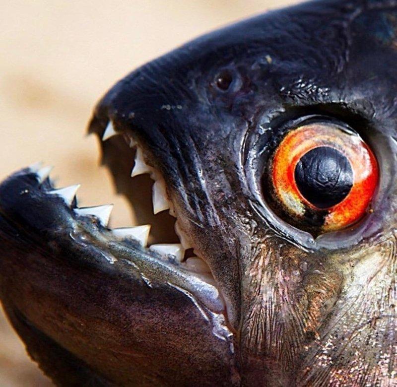 14. Чёрная пиранья показывает свои зубки в мире, животные, красота, природа, удивительно, фото