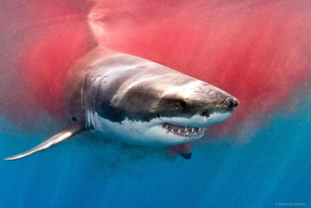 все про акул фото владимиру нам необходим
