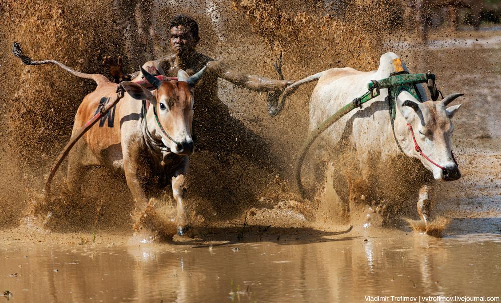 Гонки быков Пачу Джауи